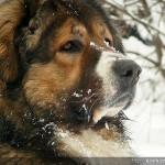 Кавказка овчарка | Декстър - 105