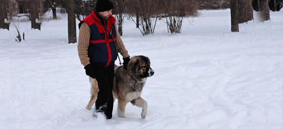 обучение на кавказка овчарка