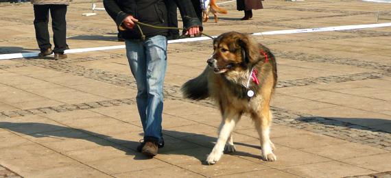 обучение на кучето кавказка овчарка