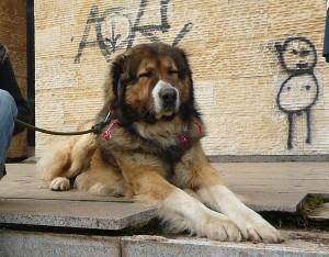 обучение на кучето кавказка