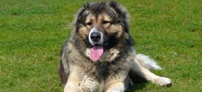 Произход на кучетата Кавказка овчарка