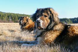 кучетата кавказки овчарки Декстър и Крикс