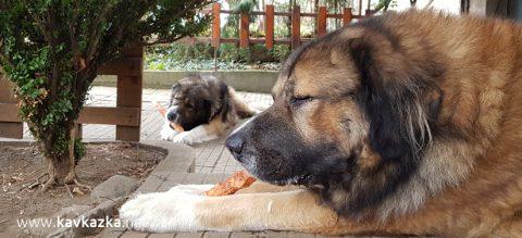 Кавказка овчарка хранене