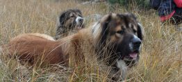 Особености при обучението на кучетата Кавказка овчарка