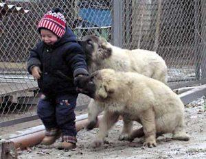 Ранна социализация на кучето Кавказка овчарка