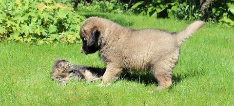 Ранна социализация на кучеncata Кавказка овчарка