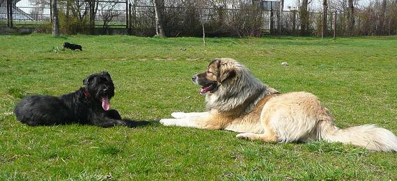 Обща дресировка на служебните кучета от порода Кавказка овчарка