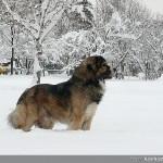 Кавказка овчарка | Декстър - 98