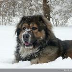 Кавказка овчарка | Декстър - 99