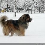 Кавказка овчарка | Декстър - 100