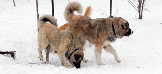 обучение на кучета кавказка овчарка