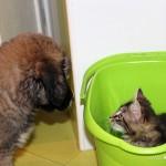 Крикс и Пухи - луда игра между куче и коте