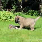 Кавказка овчарка - Крикс