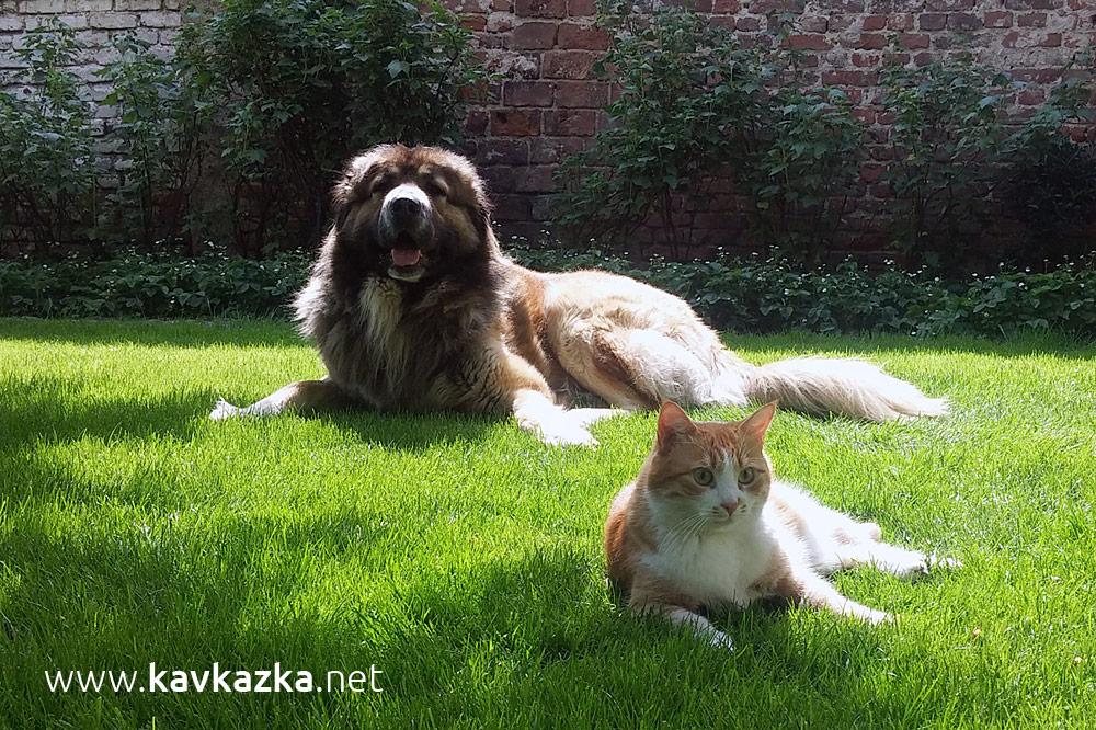 Котката Пипи и Кавказка овчарка Крикс