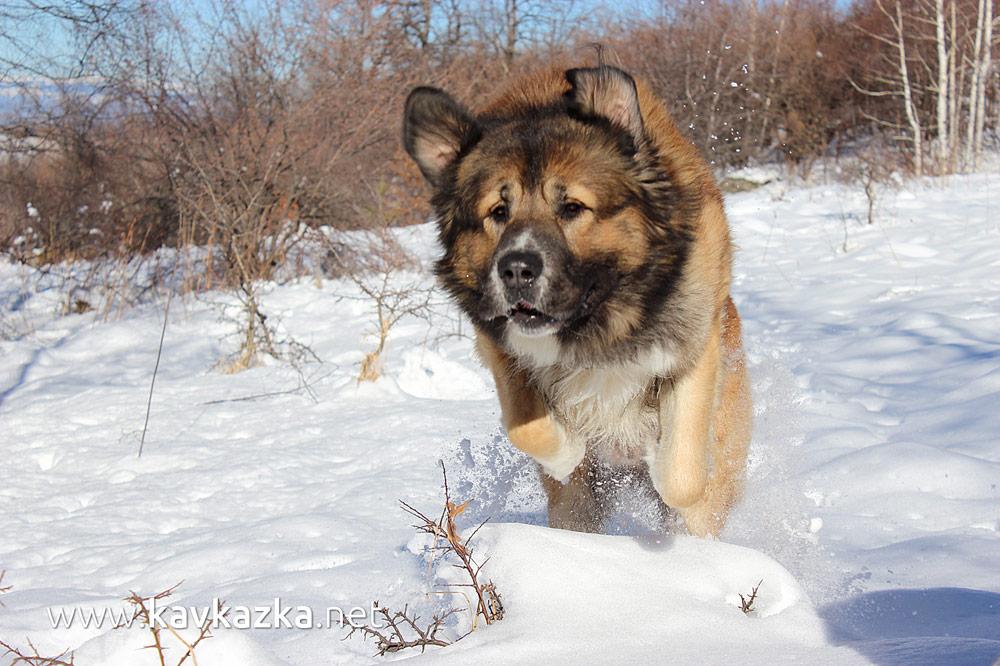 Крикс - куче кавказка овчарка