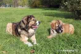 Декстър и Крикс – кавказка овчарка